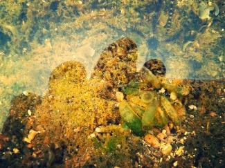 Bintang Laut yang bersembunyi di air yang menggenang di karang-karang.